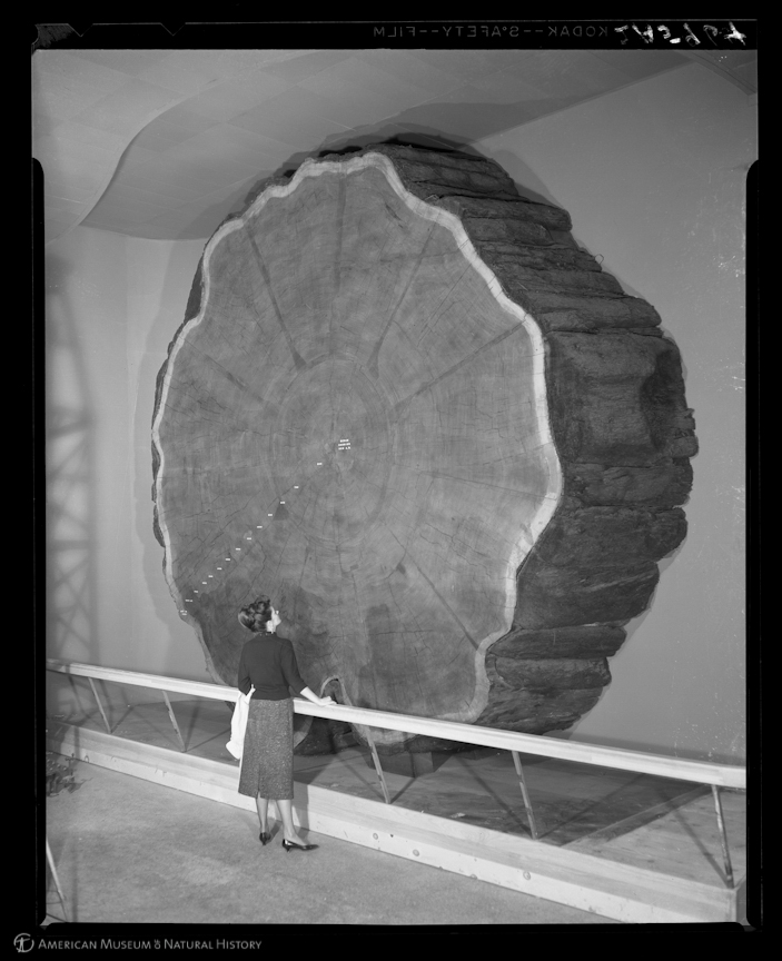 """Woman looking at Giant Sequoia section, 1958"", Foto © Lee Boton, American Museum of Natural History"